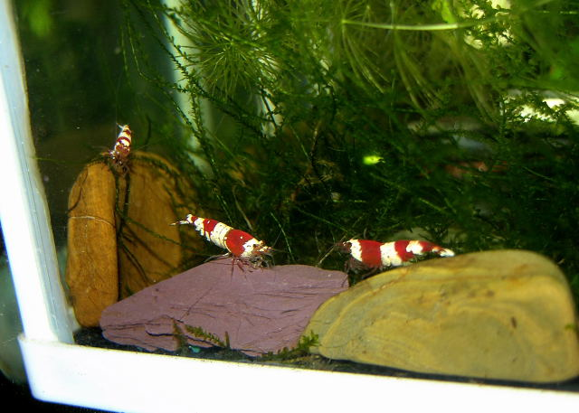 Caridina_cantonensis_(Crystal_Red) 07 Crystal_Red-Tre_esemplari_ad_Aprile_2012.jpg